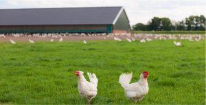 Op slimme en duurzame wijze zakelijke energie inkopen als pluimveehouder